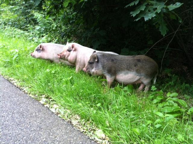 Varkens in het Dorstse bos